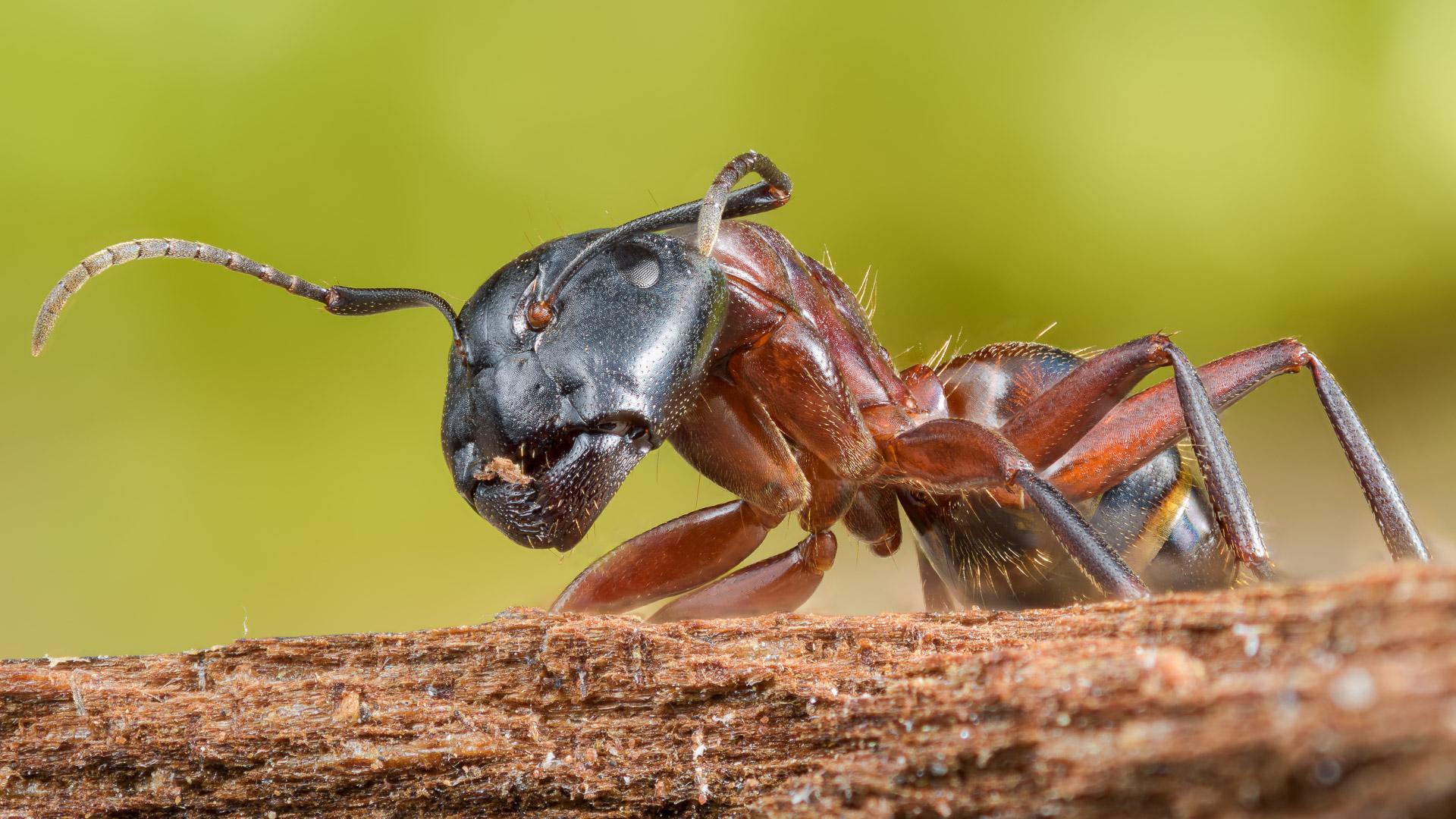Focus Stack einer Braunschwarzen Rossameise (Camponotus ligniperda)Kamera: NIKON D810 Brennweite: 58mm 1/200 s bei Blende f/4.5