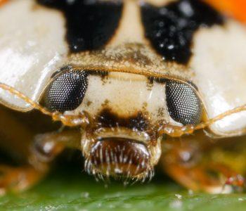 Portrait eines Asiatischen Marienkäfers (Harmonia axyridis) mit 14,5-facher Vergrößerung (Abbildungsmaßstab 14,5:1)Kamera: NIKON D3X Brennweite: 25mm 1/60 s bei Blende f/2.0