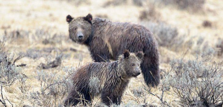 Grizzly-Baer Junges (Ursus arctos horribilis) von etwa 1,5 Jahre mit seiner Mutter im Yellowstone Nationalpark (USA).Kamera: NIKON D4 Brennweite: 700mm 1/160 s bei Blende f/5.6