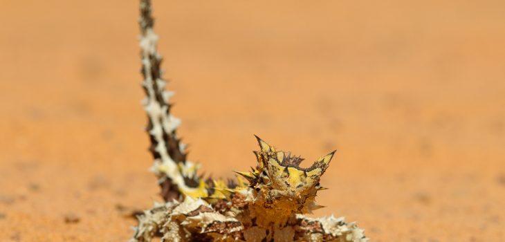 Bei diesem Naturfoto eines Dornteufels (Moloch horridus) begab ich mich wie so haeufig auf Augenhoehe mit der Echse.Kamera: NIKON D2x Brennweite: 157mm 1/250 s bei Blende f/8.0