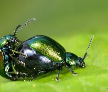 Einheimische Käfer