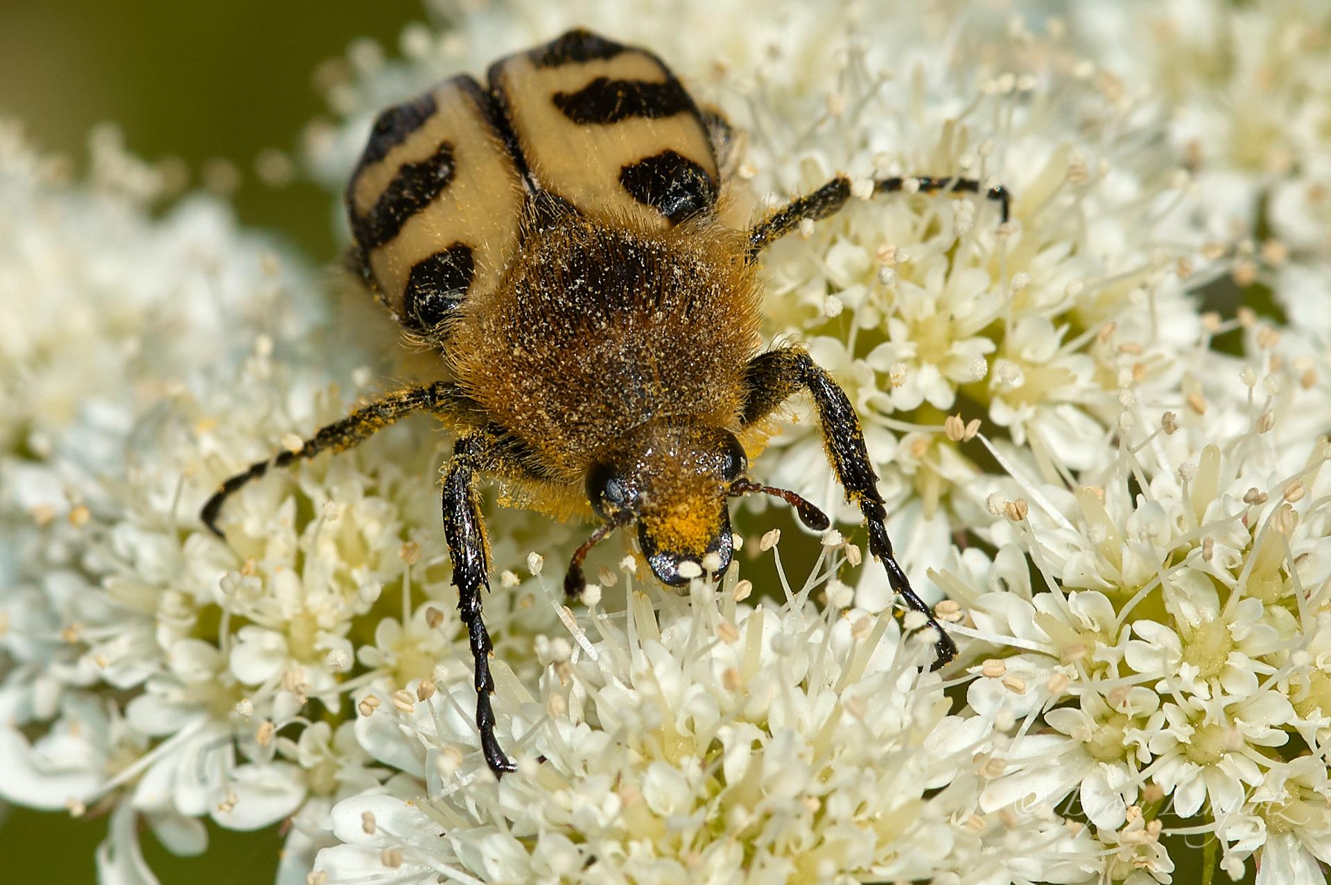 Der Glattschienige Pinselkäfer (Trichius gallicus) ist ein hübscher Käfer.Kamera: NIKON D3x Brennweite: 105mm 1/200 s bei Blende f/8.0