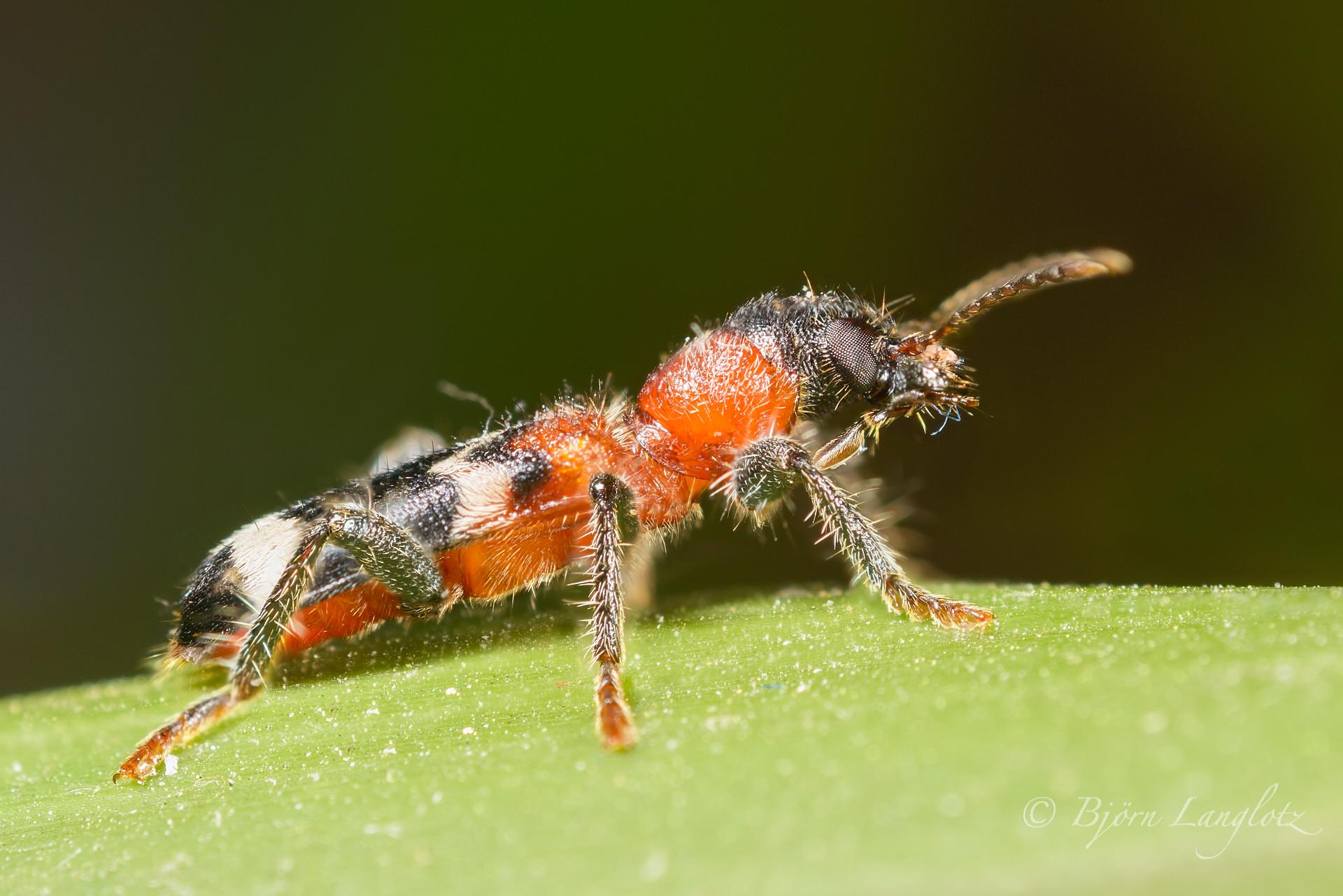 Der Ameisenbuntkäfer (Thanasimus formicarius) auf diesem Naturfoto ist ein wichtiger Nützling, da er Borkenkäfer frisst!Kamera: NIKON D800E Zeiss Luminar II 63 mm1/60 s bei Blende f/4.5
