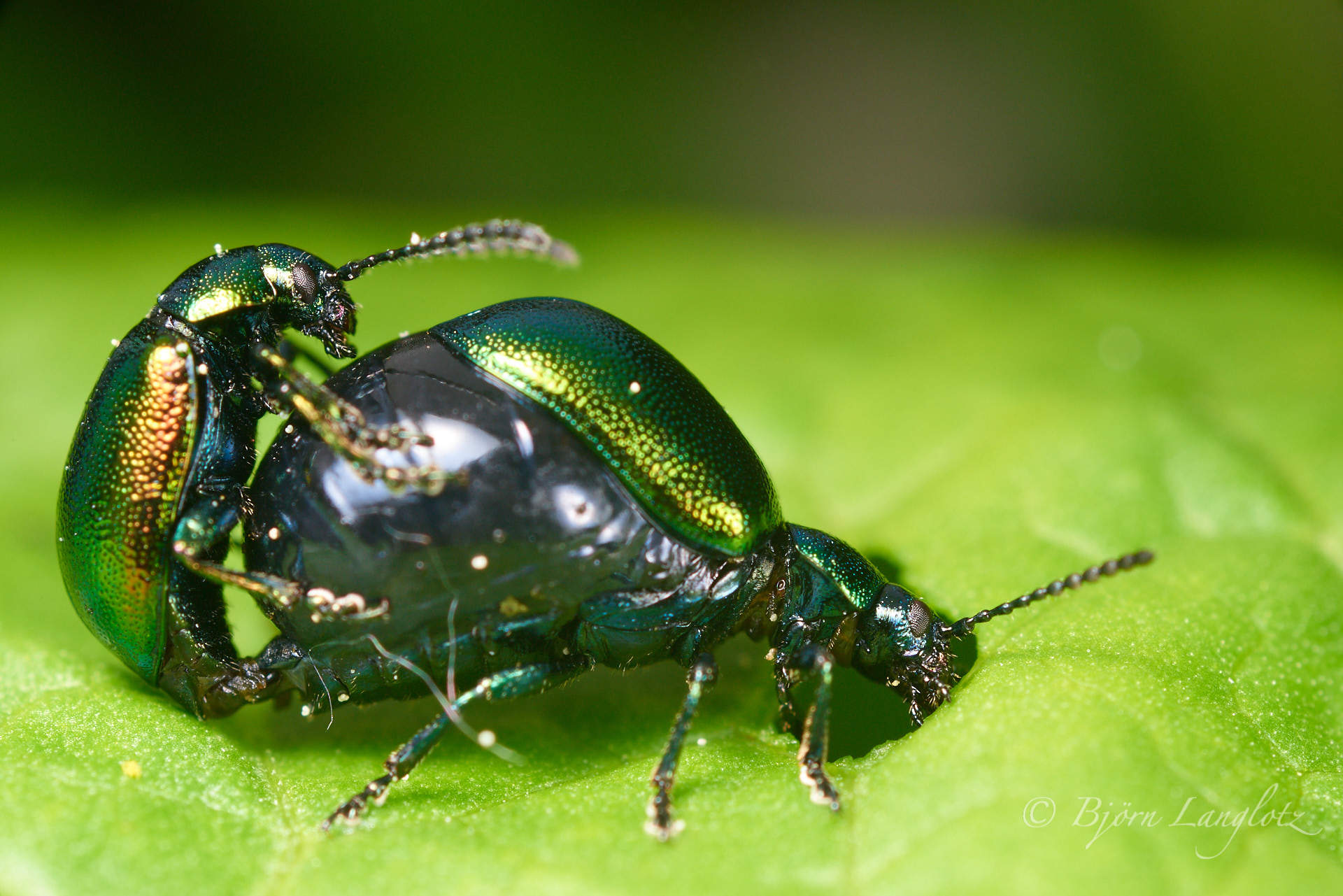 Das Weibchen des Grünen Sauerampferkäfers (Gastrophysa viridula) hat während der Paarungszeit einen von Eiern aufgedunsenen Hinterleib.Kamera: NIKON D810 Zeiss Luminar II 63 mm1/200 s bei Blende f/4.5