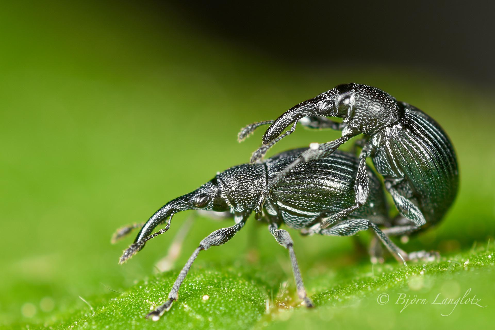 Dieses Naturfoto mit etwa 2,5-facher Vergrößerung zeigt zwei Kräftige Stockrosen-Spitzmausrüssler (Aspidapion validum) bei der PaarungKamera: NIKON D810 Zeiss Luminar II 63 mm1/60 s bei Blende f/4.5