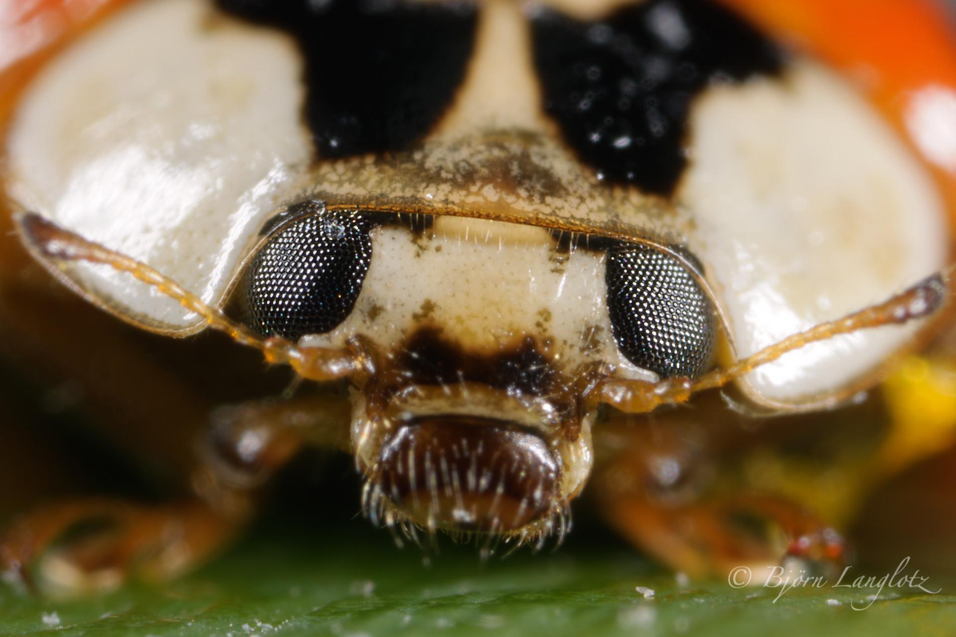 Portrait eines Asiatischen Marienkäfers (Harmonia axyridis) mit 14,5-facher Vergrößerung (Abbildungsmaßstab 14,5:1)Kamera: NIKON D3X Leica Photoar II 25 mm1/60 s bei Blende f/4.5
