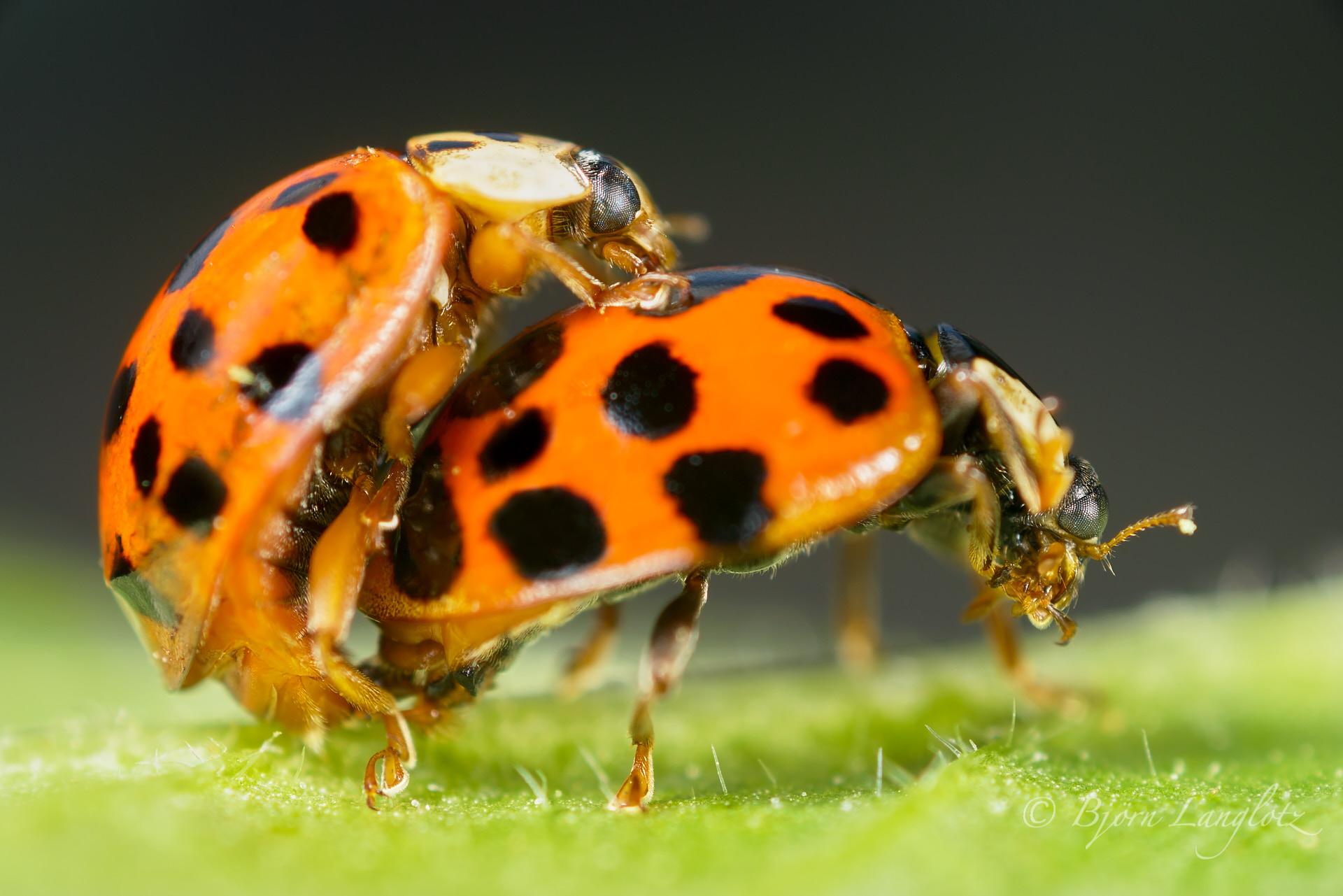 Diese beiden asiatischen Marienkäfer (Harmonia axyridis) sind gerade bei der Paarung, was das Weibchen nicht von der Körperhydiene abhält.Kamera: NIKON D800E Zeiss Luminar II 63 mm 1/200 s bei Blende f/4.5