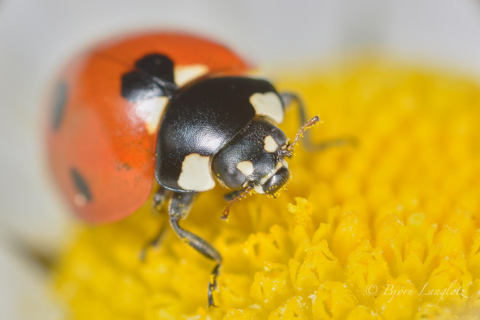 Dieser Siebenpunkt-Marienkäfer (Coccinella septempunctata) hatte es sich auf einer Blüte gemütlich gemacht (ca. 2-fache Vergrößerung)Kamera: NIKON D800E Zeiss Luminar II 63 mm 1/200 s bei Blende f/4.5