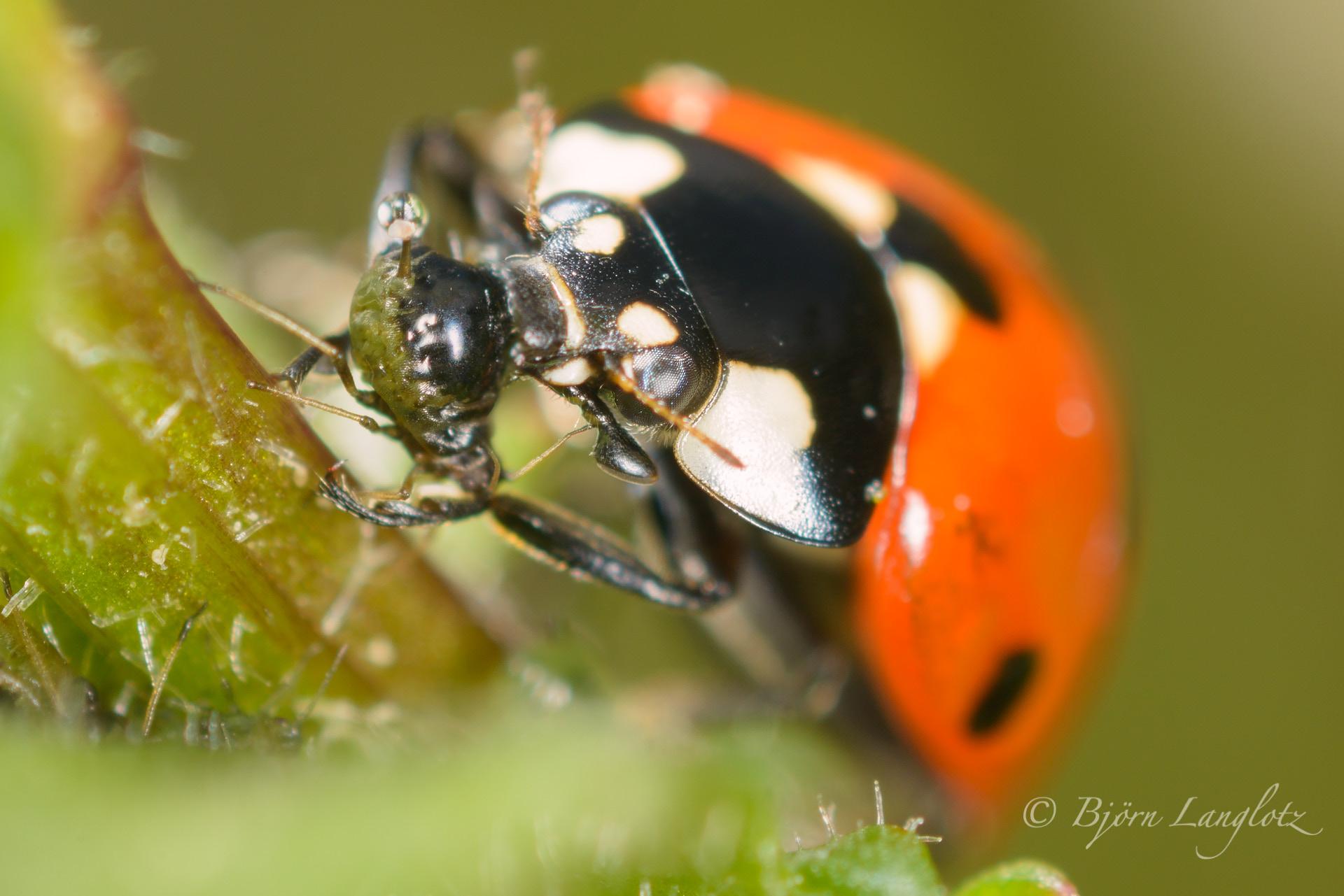 Auf diesem Naturfoto macht sich ein Siebenpunkt-Marienkäfer (Coccinella septempunctata) über eine Blattlaus her (3-fache Vergrößerung).Kamera: NIKON D800E Zeiss Luminar II 63 mm1/125 s bei Blende f/4.5
