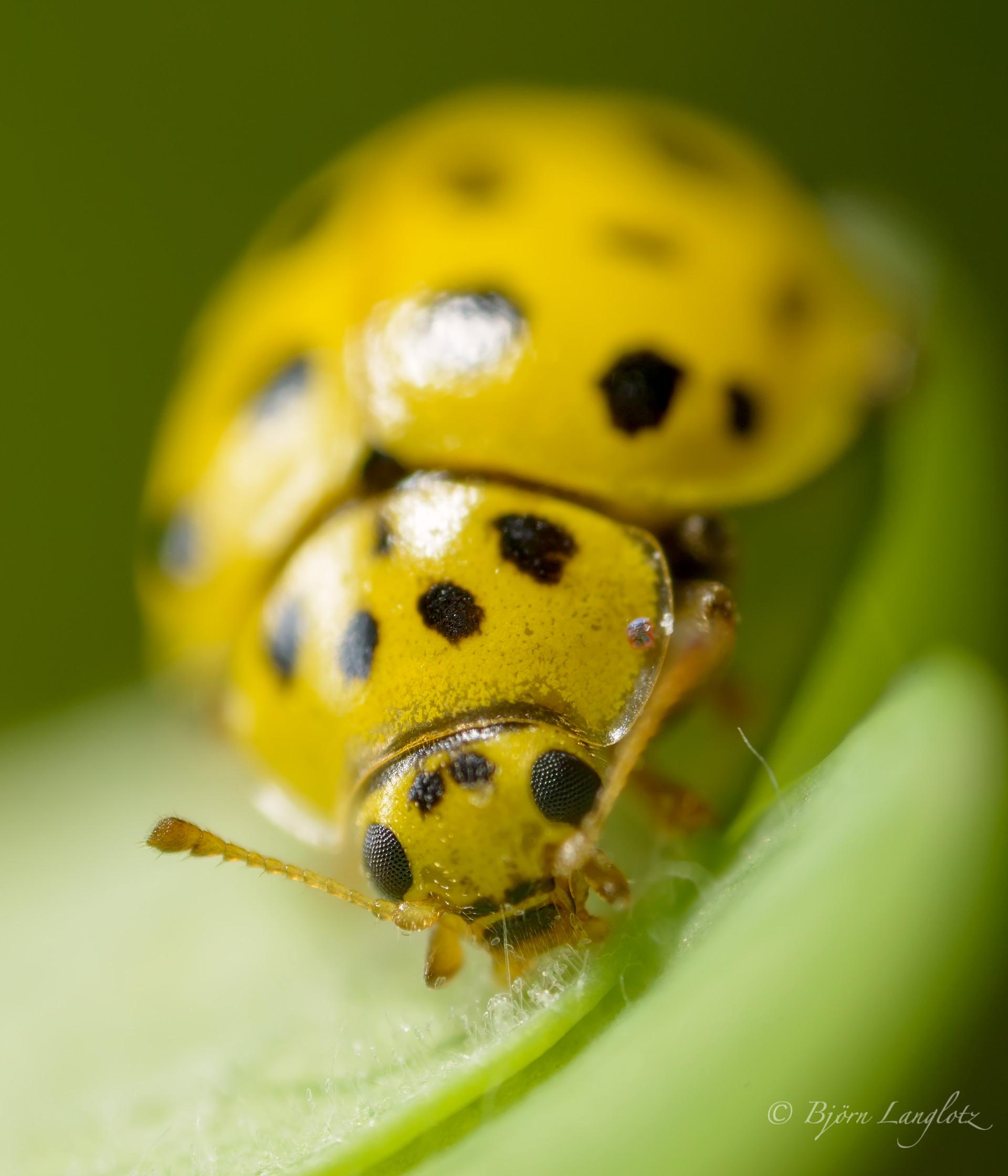 Dieses Naturfoto zeigt einen Zweiundzwanzigpunkt-Marienkäfer (Psyllobora vigintiduopunctata) der sich von Mehrltau ernährt (etwa 7-fache Vergrößerung)Kamera: NIKON D800E Leica Photoar II 25 mm 1/250 s bei Blende f/2.0