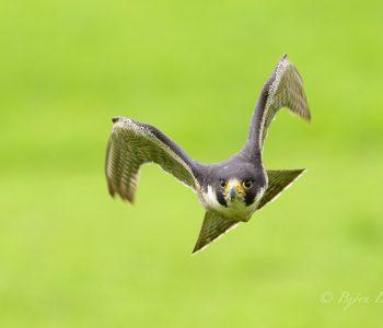 Auf diesem Naturfoto beschleunigt der Wanderfalke (Falco peregrinus) stark, was an der Flügelhaltung gut zu sehen ist. Trotz 700 mm Brennweite ist das Tier schon sehr nahe.Kamera: NIKON D810 Brennweite: 700mm 1/2000 s bei Blende f/6.3