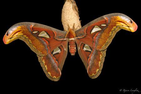 Dieser Atlasspinner (Attacus atlas) wurde durch eine spezielle Beleuchtungstechnik vor dem Hintergrund isoliert.<br />Kamera: NIKON D3X <br />Brennweite: 150mm <br />1/250 s bei Blende f/22.0