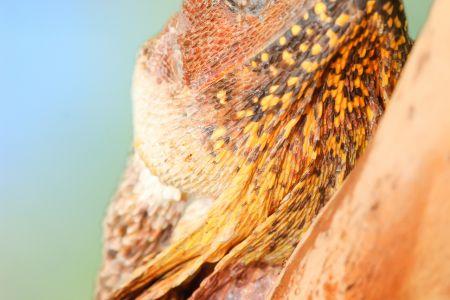 Die australische Kragenechse (Chlamydosaurus kingii) erlaubt emir ein schoenes Portrait.<br />Kamera: NIKON D2x <br />Brennweite: 600mm <br />1/60 s bei Blende f/5.6
