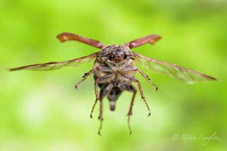Diesen Feldmaikäfer (Melolontha melolontha) konnt eich mit etwas Glück im Flug fotografieren.<br />Kamera: NIKON D810 <br />Brennweite: 105mm <br />1/1 s bei Blende f/16.0