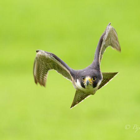 Auf diesem Naturfoto beschleunigt der Wanderfalke (Falco peregrinus) stark, was an der Flügelhaltung gut zu sehen ist. Trotz 700 mm Brennweite ist das Tier schon sehr nahe.<br />Kamera: NIKON D810 <br />Brennweite: 700mm <br />1/2000 s bei Blende f/6.3